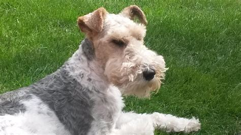 wire hair fox terriers picture 9