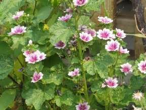 purchase of marsh mallow picture 10