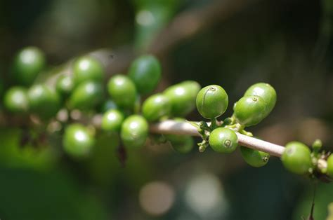 does pure green coffee bean have caffeine picture 17