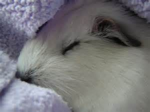 guinea pigs put to sleep picture 7