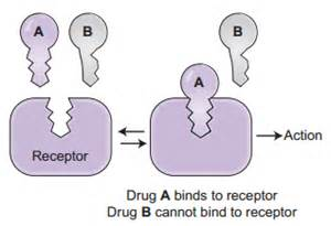 adderall protein binding picture 2