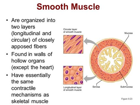 cardiac muscle is found in the wall of picture 14