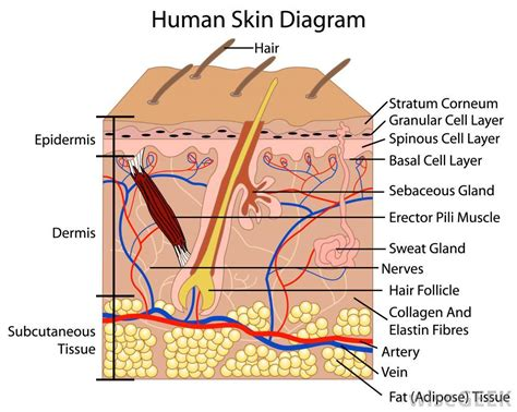 skin structure pictures picture 9