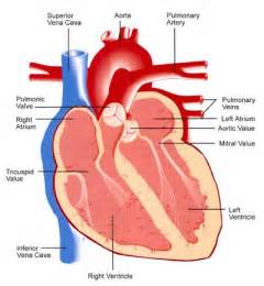 picture blood flow heart picture 10