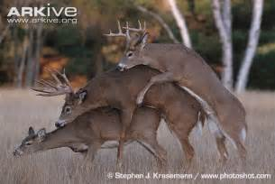 if female deer mate with male deer that picture 1