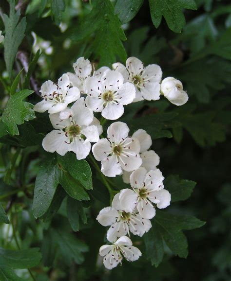 hawthorn picture 2