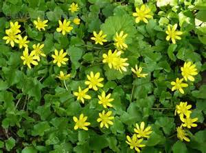 English, herbal plant picture 2