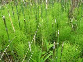 common horsetail plant picture 2