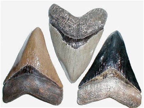 fossilized shark teeth picture 13