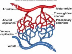 blood flow through the capillaries picture 3