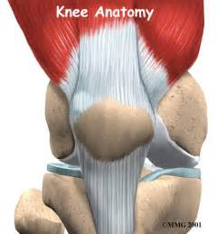 anotomy of knee joint picture 15