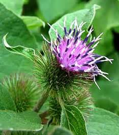 burdock extract or burdock tea for cancer picture 17