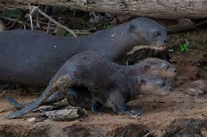 diet baby river otters picture 5