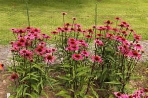 echinacea 'pica bella' picture 5