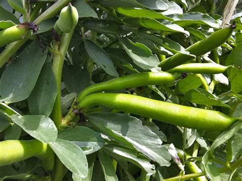 fava beans and hair growth picture 7
