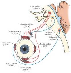 eye muscle control picture 15