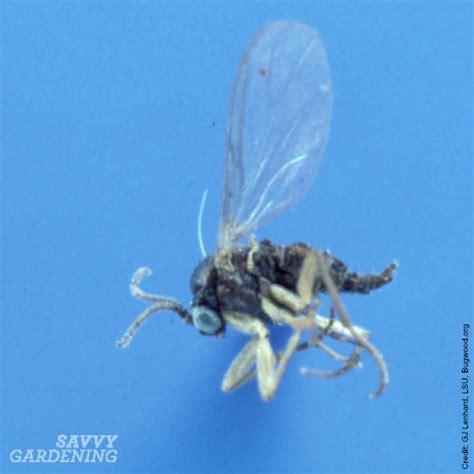 fungus gnat picture 3