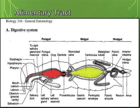 ant's food digestion picture 2
