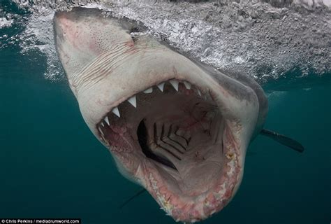 great white shark teeth picture 5