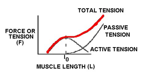 definition of passive muscle tension picture 17