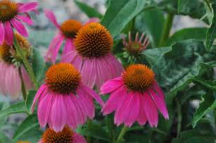 echinacea flower picture 1