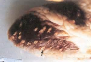 bladder worm info picture 1