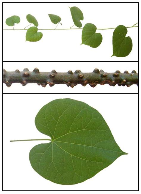 panyawan herbal plant picture 7
