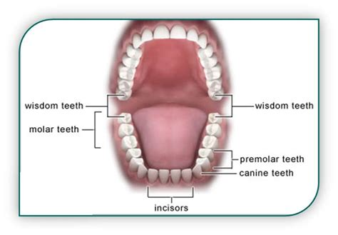 what teeth are your wisdom teeth picture 8