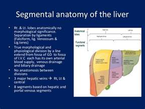 anatomy of the liver picture 13