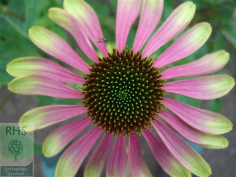echinacea green envy skin care picture 5