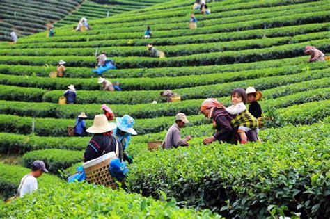 madagascar women and tea plantation picture 7
