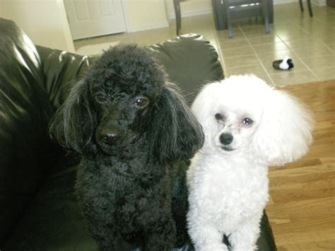 ear infections poodle yeast picture 9