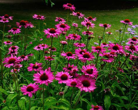 echinacea purpurea picture 11