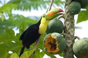 diet of a toucan picture 3