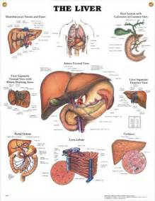 anatomical location of the liver picture 11