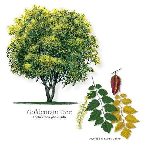 ginkgo biloba tree root system picture 14