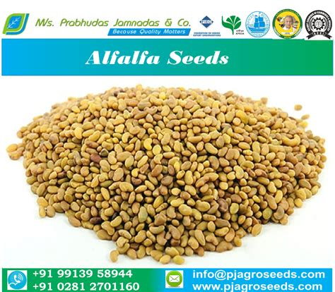 alfalfa seed for sale picture 2