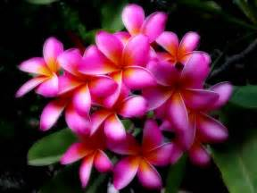 +hawaiin silky herbal picture 15