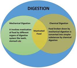 diagrams of chemical digestion picture 1