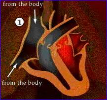 Animation of blood flow though heart picture 7
