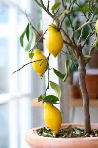 lemon tree hair picture 1