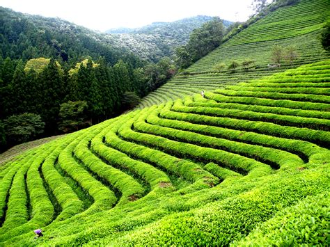 effective green tea in philippines picture 3