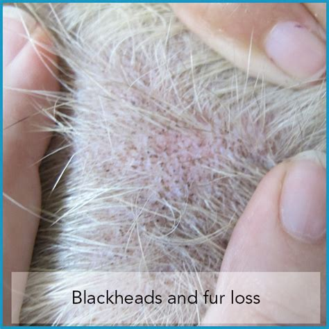 cause of skin mites in dogs picture 7