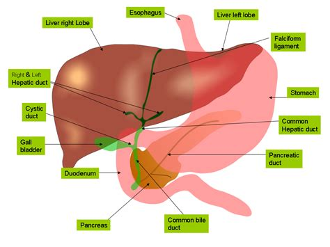 where does digestion occur in the liver picture 13