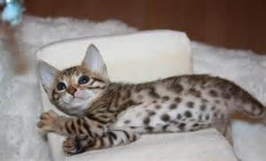 bengal cats information on diet picture 7
