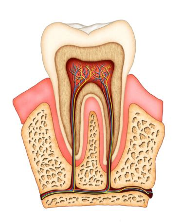 anatomy of the teeth picture 15