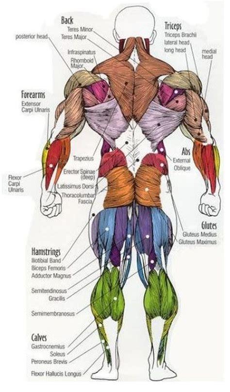anatomy - muscle man kikkerland picture 11