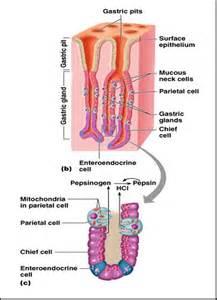 digestive fluids picture 7