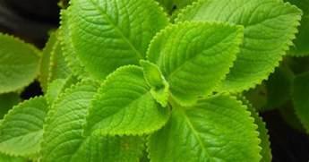 medicine kalabo plant picture 5