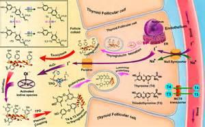 thyroid feroxidase picture 6